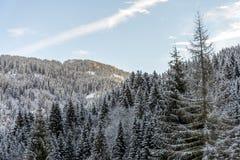 山的冷杉森林 库存照片