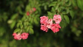 黑山的本质 植物,花,树 的adolphe 股票录像