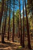 山的杉木树丛 免版税库存照片