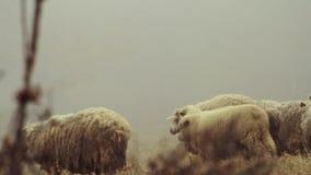 山的绵羊农场在有雾的春天早晨 ?? 绵羊在黄色草甸吃草 股票视频