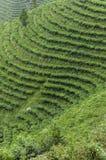 山的茶园 图库摄影
