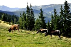 山的草甸与树和母牛 免版税库存照片