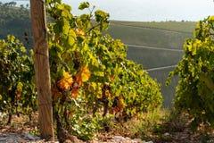 山的葡萄园 库存照片