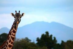 山的长颈鹿 免版税库存图片