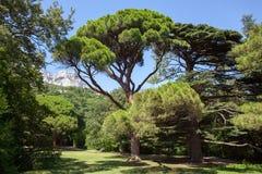山的雪松森林在蓝天背景 免版税图库摄影