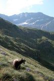 山的Ram在草witn紫色开花 库存图片