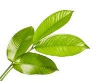 山竹果树离开,热带常青树,在白色背景隔绝的山竹果树叶子 免版税图库摄影