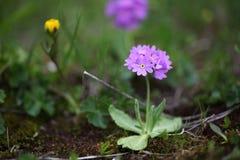 山紫色花 库存照片