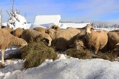 山绵羊在一把滋补干草享用 免版税库存图片