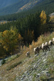 山绵羊 库存照片