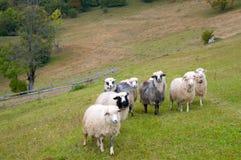 山绵羊 免版税库存照片