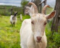山羊。 纵向 图库摄影