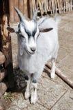 山羊一点 免版税图库摄影