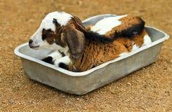 山羊一点 库存图片