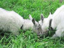 山羊二白色 免版税图库摄影