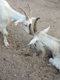 山羊二白色 免版税库存照片