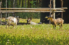 山羊五 免版税图库摄影