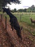 山羊从树得到生活 法国凡尔赛 库存照片
