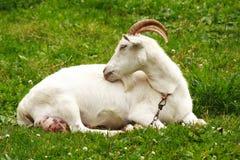 山羊保姆 免版税图库摄影