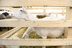 山羊农场 免版税库存图片