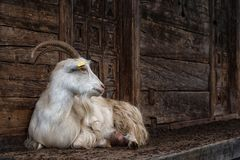 山羊农村场面 库存图片