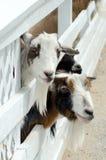 山羊动物园 免版税库存图片