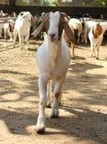 山羊动物 免版税库存图片