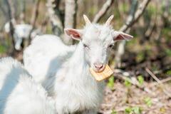 山羊吃一个薄脆饼干 免版税库存照片