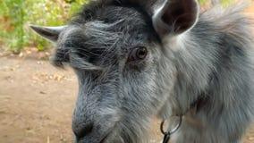 山羊吃从一个人的手的一片葡萄叶子 影视素材