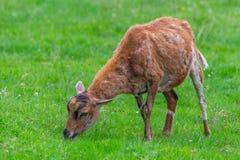 山羊吃在绿色草甸的草 免版税库存图片