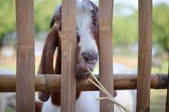 山羊吃着草人们通过笼子输入在动物园 库存图片
