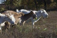 山羊吃 免版税库存图片