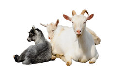 山羊和孩子 库存图片