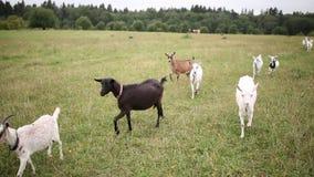 山羊和小山羊在草甸走 股票录像
