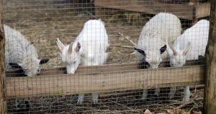 山羊和绵羊吃在农场的干草 股票录像