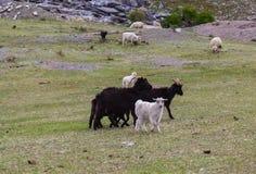 山羊和绵羊在山坡的,阿尔泰,俄罗斯一个草甸吃草 图库摄影