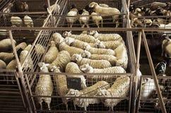 山羊和绵羊在Fredericksberg,得克萨斯拍卖牲畜饲养场 免版税库存照片