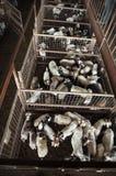 山羊和绵羊在Fredericksberg,得克萨斯拍卖牲畜饲养场 库存照片