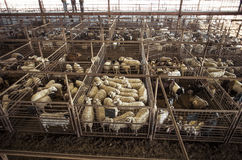 山羊和绵羊在Fredericksberg,得克萨斯拍卖牲畜饲养场 库存图片