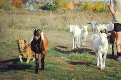 山羊在一个草甸吃草在村庄 牧羊人从牧场地带领牛 库存照片