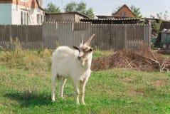山羊在一个草甸站立在乡下 库存图片