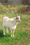 山羊在一个草甸站立在乡下 免版税库存照片