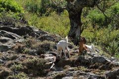 山羊在一棵树下在树荫下 免版税库存照片