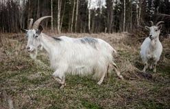 山羊在乡下 库存图片
