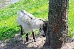 山羊在关于树的公园 库存图片