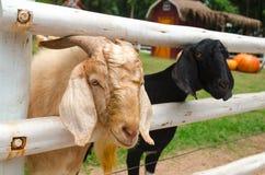 山羊在农场 免版税库存照片