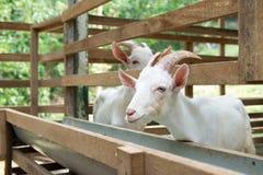 山羊在农场 免版税图库摄影