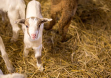 山羊在农场 图库摄影