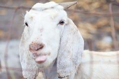山羊在农场 库存照片