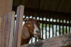 山羊在农场 免版税库存图片